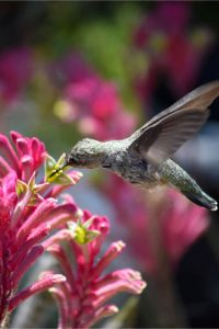 Attracting herbs to your backyard garden - herbs that attract hummingbirds